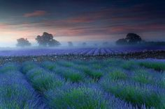 Mist in the Lavender Field