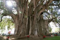 Árbol del Tule, a Montezuma Cypress, is located in the town center of Santa María del Tule in the Mexican state of Oaxaca . It has the stoutest trunk of any tree in the world although the trunk is heavily buttressed, giving a higher diameter reading than q true cross-sectional of the trunk. It is so large that it was originally thought to be multiple trees, but DNA tests have proven that it is only one tree. The tree is estimated to be between 1,200 and 3,000 years old.