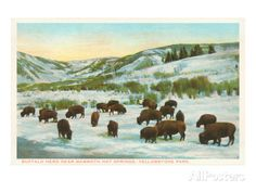 Bison Herd, Yellowstone National Park Posters at AllPosters.com 40 x 30