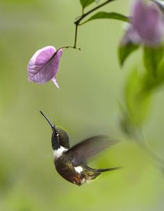 Purple Throated Woodstar Hummingbird