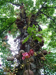 Foster Botanical Garden - the cannonball tree! Bizarre!