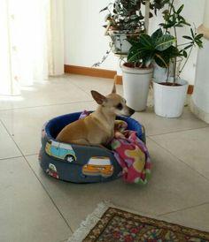 Dog luna pincher