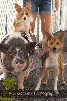 THEY ARE LOOKING FOR A TOGETHER HOME- PLEASE HELP TO FIND A GOOD FOREVER PLACE... Shelter Pig And Her Dog BFFs Are Inseparable, And Need A Home Together