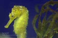 Seahorse by ChinChan #nature #photooftheday #amazing #picoftheday #sea #underwater