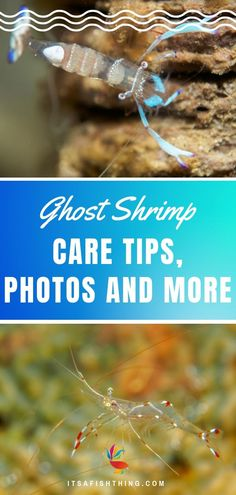 Learn all about ghost shrimp here. What they look like, how to care for them, what ghpst shrimp eat, water temperature, compatible tank mates and more. Aquarium Fish Food, Aquarium Shop, Tropical Fish Aquarium, Home Aquarium, Planted Aquarium, Reef Aquarium, Tropical Freshwater Fish, Freshwater Fish Tank, Freshwater Aquarium Shrimp