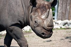 Maku is one of four critically endangered eastern black rhinos living at the Lincoln Park Zoo. (Lincoln Park Zoo)