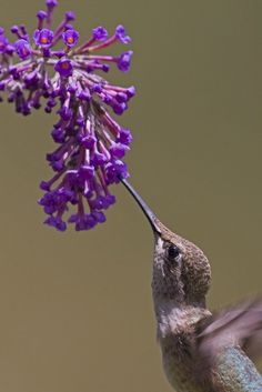 Black Chinned Hummingbird feeding on flower!