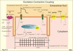 Excitation-contraction coupling in a cardiac fibre