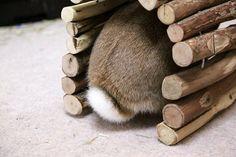 Ichigo san 422 いちごさんうさぎ rabbit bunny netherlanddwarf brown cute pet family ichigo ネザーランドドワーフ ペット いちご うさぎ