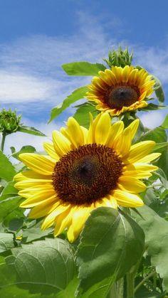 sunflowers, field, sky, summer, greens