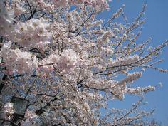 桜3(sakura)、Cherry Blossom、My photo