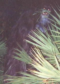 Skunk Ape (Florida)  This large, hairy bipedal mammal is said to inhabit the Southern United States, but it's most often spotted in Florida. It gets its name from its unpleasant odor, which is said to be similar to rotten eggs or methane. Although reports of the creature were most common in the 1960s and 1970s, sightings continue today, but the most famous one took place in 2000.