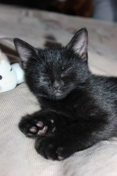 17 Black Kittens Th 17 Black Kittens That Will Fill Your Heart With Joy Puppies And Kitties, Cute Cats And Kittens, I Love Cats, Crazy Cats, Cool Cats, Kittens Cutest, Black Kittens, Pretty Cats, Beautiful Cats