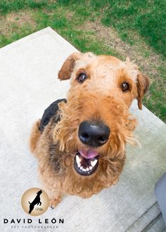 PlaytimeReady to play all the time#DavidLeon #Pet #Photographer #Airedale #Terrier #Milo