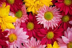April Born - Flower: Daisy was said to spring from the tears of Mary Magdalene. It was known as 'God's smile' and 'Day's Eye', an Anglo Saxon name, which morphed to the current word daisy. This is because the flower opened and closed with the sun's rays.