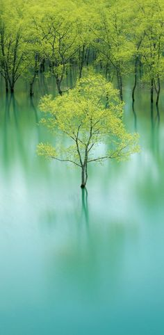 Beautiful nature photo of trees submerged in turquoise  water.