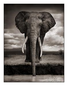 @izismile #Nick #Brandt black & white photo of an elephant with all it's glory, huge flapping ears, the long ivory tusks, their long trunk and amazing memory