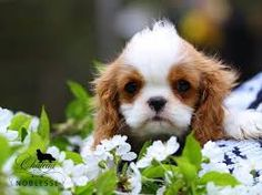 Cavalier King Charles Spaniel – Graceful and Affectionate Cavalier King Charles Spaniel, King Charles Puppy, Baby Animals, Cute Animals, Cutest Puppy Ever, Puppy Pictures, Puppy Pics, Animals Beautiful, Dog Love