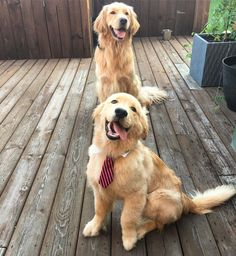 There Are So Many Good Posts About Golden Retrievers This Week