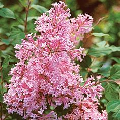 Josee Reblooming Lilac  Dwarf Form, Giant Fragrance   zones 2-9  full sun to partial shade
