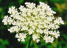 Queen Anne's Lace, my favorite weed. :)