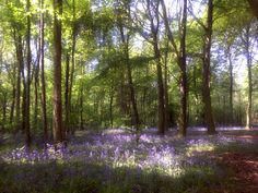Bluebell woods in the UK