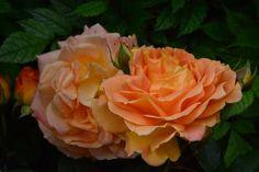 Vielä Goldelse  ruusu