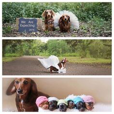 Doggie maternity shoot - I ❤ these things! Puppy Pictures, Dog Photos, Puppy Pics, Baby Dogs, Dogs And Puppies, Arte Dachshund, Pregnant Dog, Dachshunds, Doggies