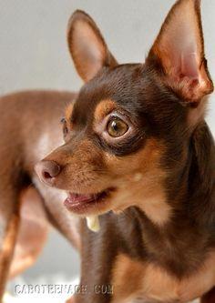 Photos : <span>Le ratier de Prague à l'affût</span> Mini Pinscher, Miniature Pinscher, Chihuahua Puppies, Cute Dogs And Puppies, Pet Dogs, Dog Cat, Cute Funny Animals, Funny Dogs, Prager Rattler
