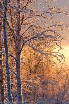 ~~Golden morning sunshine lights the frosted branches of birch trees in the winter boreal forest in Fairbanks, Alaska | Patrick J Endres, Alaska PhotoGraphics~~
