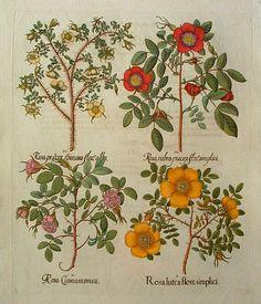 1713 Basilius Besler (Germanapothecary botanist, 1569-1612) ~Rosa Lutea (Austrian Briar)