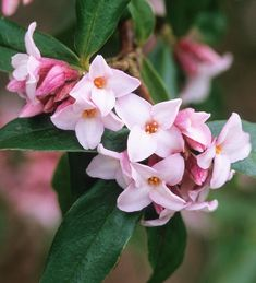 Daphne 'Jacqueline Postil' Evergreen Full Sun Loved by Pollinators Part Shade Perennial Scented * * * * * One of the BEST scented shrubs ever, with clusters of pink, magenta and white flowers in late winter. Daphne Flower, Flowering Shade Plants, Part Shade Perennials, Colorful Shrubs, Flower Drawing Tutorials, Plant Delivery, Home Flowers, Pink Flowers, Flowers