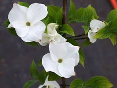 Cornus Eddie's White Wonder (tidlig blomsterkornel)