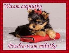 witam+cieplutko+yorczek+pozdrawiam88-0M.gif (400×309) York, Animals, Animais, Animales, Animaux, Animal, Dieren