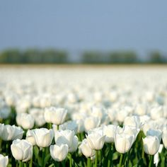 Elixirs of life rainbow is my favorite color pinterest field of white tulips mightylinksfo