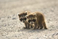 Raccoons / Ratons laveurs / アライグマ