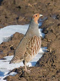 Peltopyy, Perdix perdix - Linnut - LuontoPortti Partridge, Animal Drawings, Old World, Birds, Quails, Finland, Grey Partridge, Quail, Bird