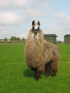Cadnza - Female llama Llamas, Female, Animals, Animaux, Animal, Animales, Animais