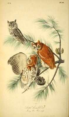 Vol 1, 1840: The Birds of America by John James Audubon [BHL]  -SCREECH OWL - Download Audubons birds here