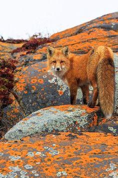 Red Fox (Vulpes vulpes) on rocks with orange lichen, Churchill, Canada