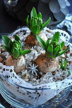 Hyacinths on cake dish