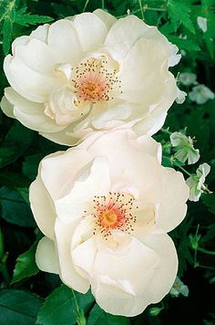 White Rose 'JAQUELINE DU PRE' . The large white blooms with red centers make her a real standout in the garden.....