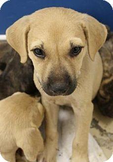 Popular Mouth Cur Black Adorable Dog - d159a534376d7e51d5e3d176a4c39c00--black-mouth-cur-mouths  Picture_41211  .jpg
