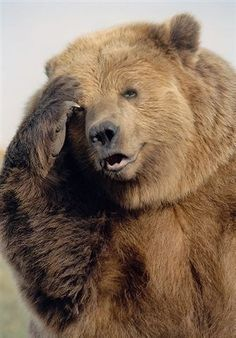 """The trained Kodiak bear from the movie """"The Edge"""" starring Anthony Hopkins… BART. The trained Kodiak bear from the movie """"The Edge"""" starring Anthony Hopkins and Alec Baldwin. Bear Photos, Bear Pictures, Funny Animal Pictures, Funny Animals, Cute Animals, Bart The Bear, Love Bear, Urso Bear, Photo Animaliere"""