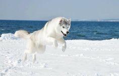 Afbeeldingsresultaat voor husky