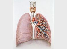 Artwork showing an anterior view of the larynx, thyroid, trachea and lungs with bronchial tree.    Credit: Medical Art Service, Munich/Wellcome Images.