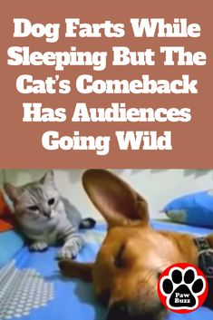 Dog Farts While Sleeping But The Cat's Comeback Has Audiences Going Wild I can't stop laughing, so funny! Funny Animal Videos, Funny Animal Pictures, Cute Funny Animals, Funny Cute, Hilarious, Dog Videos, Funny Videos, Animal Pics, Animal Memes