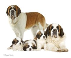 Saint Bernard Dogs (Short haired)↖ and (Long haired)↗  most people don't know there is a smooth coat.  We had at least one when I was a kid.  Not as common