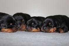 Rottweiler Puppy Biting Tips - https://www.kingrottweilers.com/rottweiler-puppy-biting-help/