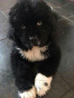 Newfoundland puppy ❤                                                                                                                                                                                 More